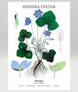 vykort blsippa motiv gammaldags plasch skolplansch svenska växter